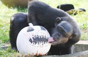 chimpanzee-pumpkin_1507407i